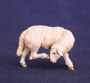 Sheep scratching